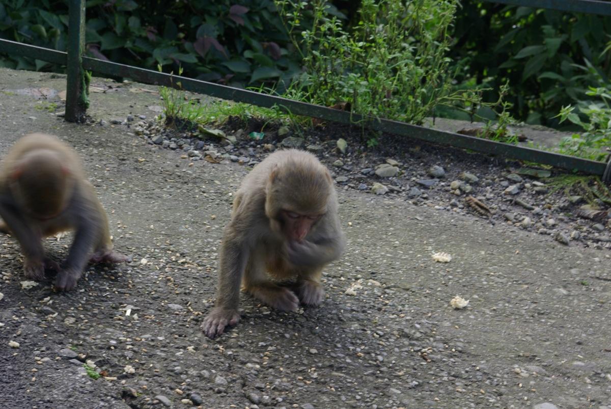Dzikich małp w okolicach Darjeeling jest całkiem sporo
