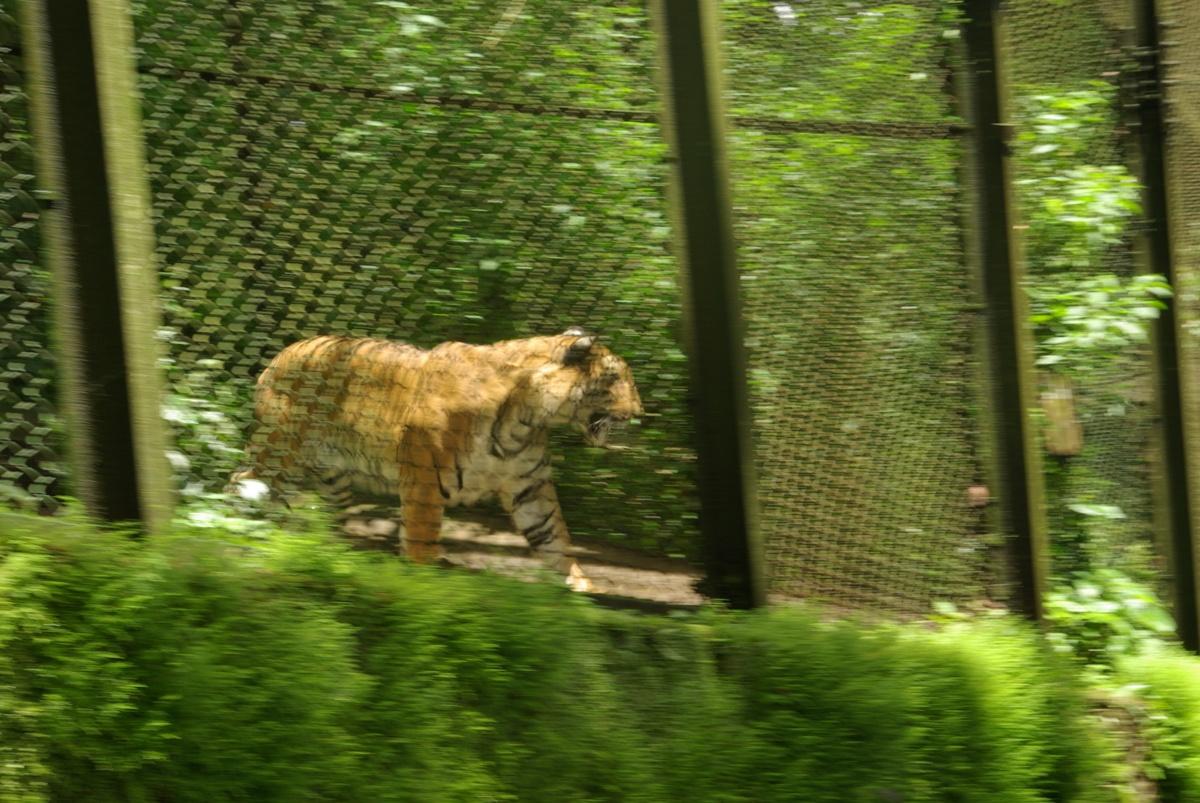 I wreszcie on, król – tygrys bengalski (Taaak, piękny. Kilka minut nie mogłem oderwać wzroku :) - Jarek aka tgrs)