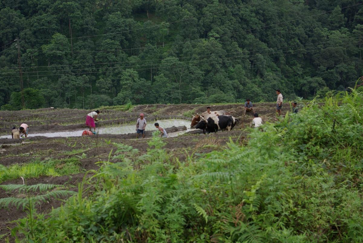 Pola ryżowe na wzgórzach. Krówki pomagają w uprawie :)